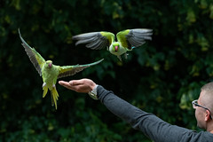 Incoming! (adamking69) Tags: parakeet colour colourful tropical london hydepark serpentine nikon d850 nikkor 200500
