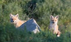 Family (brian.perkes) Tags: fox kit family wildlife photo