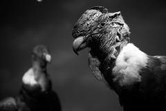 Cóndor en el MHN, Santiago de Chile (Mario Rivera Cayupi) Tags: condor bird nature dissected museum cóndor ave naturaleza disecada museo bw chile santiago blanconegro bokeh canon80d canon blackandwhite sigmaart sigma1835mmf18art