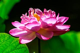 Lotus in Komyoji Temple, Zaimokuza, Kamakura  : 錦蕊蓮(鎌倉市材木座・光明寺)