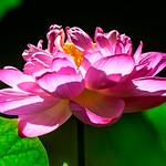 Lotus in Komyoji Temple, Zaimokuza, Kamakura  : 錦蕊蓮(鎌倉市材木座・光明寺) thumbnail