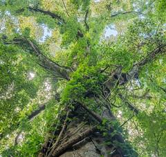 Large fig tree with pepper vines (keithhorton3) Tags: moreton bay fig tree ficus macrophylla pepper vine piper novaehollandiae subtropical rainforest mountkeira newsouthwales australia nature green liana lookingup canopy