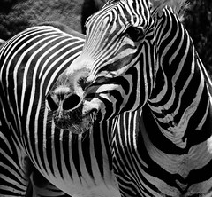 Life in Black and White (ArmyJacket) Tags: sandiego sandiegozoo zoo california southerncalifornia city attraction tourist travel animals wildlife blackwhite bw