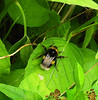 Bee resting:  21.6.18. (VolVal) Tags: dorset bournemouth boscombe garden insect bee leaves june