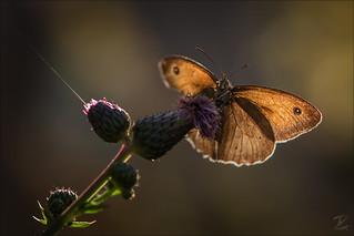 Großes Ochsenauge (Meadow brown)