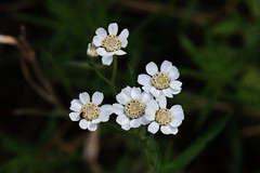 Wild Flower (Hugo von Schreck) Tags: hugovonschreck macro makro flower blume blüte canoneos5dsr tamron28300mmf3563divcpzda010