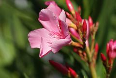 Oleander (Nerium oleander) (HEN-Magonza) Tags: oleander neriumoleander botanischergartenmainz mainzbotanicalgardens flora natur nature rheinlandpfalz rhinelandpalatinate deutschland germany