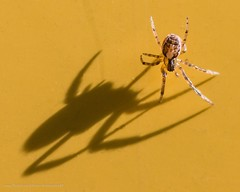 Little spider, big shadow (kimbenson45) Tags: arachnid brown closeup differentialfocus eyes glow insect legs light macro nature outdoors shadow shallowdepthoffield spider wildlife yellow appicoftheweek