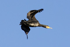 greatcormorant (simondunant) Tags: rspb rainham marshes