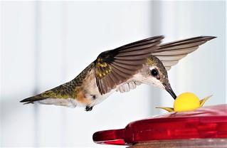 Ruby Throated Hummingbird at feeder.