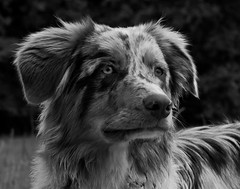 Little Ole (wolf4max) Tags: dog nature animal dogs australianshepherd