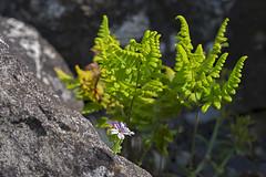 MS Bot Garten 13072018 84 (Dirk Buse) Tags: münster nordrheinwestfalen deutschland deu nrw germany uni botanischer garten pflanze flora steingarten einsam klein mft m43 mu43 stein fels