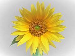 Sunflower (Hannelore_B) Tags: blume flower sonnenblume sunflower gelb yellow macro macrofriday