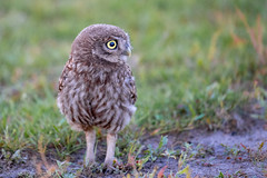 Project 2018 (eric-d at gmx.net) Tags: littleowl athenenoctua steinkauz eric strigidae ngc eule owl kauz wildlife birds vogel greifvogel birdofprey