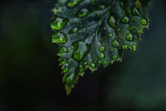After the rain II (anderswetterstam) Tags: nature water plant leaf botanical rain drops spring freshness