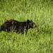 Black Bear of Northern Ontario, Canada
