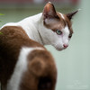Brown and White Cat (andytlaird) Tags: cat animal pet pest feline