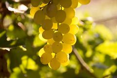 Grape.. (dibogrs) Tags: grape greece farmer canon 600d