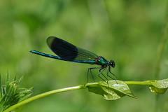 IMGP1769 Banded Demoiselle, Lackford Lakes, June 2018 (bobchappell55) Tags: lackfordlakes nature wild wildlife suffolk insect damselfly bandeddemoiselle calopteryxsplendens
