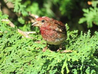 Purple Finch (Carpodacus pupureus)