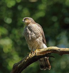 1S9A4276 (saundersfay) Tags: sparrowhawks hot cooling feathers preening birds trees woods