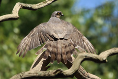1S9A4187 (saundersfay) Tags: sparrowhawks hot cooling feathers preening birds trees woods