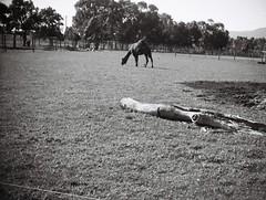 Camel (Matthew Paul Argall) Tags: jcpenneyelectronicstrobepocketcamera fixedfocus 110 110film subminiaturefilm lomographyfilm grainyfilm grainy 100speedfilm 100isofilm blackandwhite blackandwhitefilm camel farm