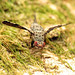 Picture-winged Fly Ovipositing