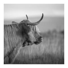 Beefcake (picturedevon.co.uk) Tags: highlandcatle cow mamal livestock dartmoor nationalpark devon outdoors summer bw blackandwhite mono grey landscape grass sky canon wwwpicturedevoncouk
