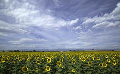 along the front range (eDDie_TK) Tags: colorado co weldcountyco weldcounty larimercountyco larimercounty berthoudco sunflowers flowers
