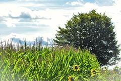 Cornfield (PinoyFri) Tags: cornfield maisfeld champdeblé elmaizal milharal kamaisan 麥田 viljapelto campodigrano 麦畑 옥수수밭 korenveld ruộnglúa hoahướngdương girasol zonnebloem tournesol ดอกทานตะวัน baum tree ต้นไม้ albero arbre wolken clouds nuages nubes 雲 ulap 구름
