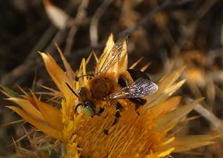 Anthophora fulvodimidiata m. (Carlina hipanica)