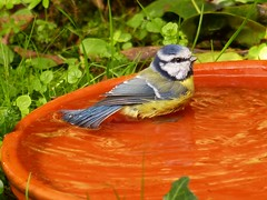 ... ready for taking a bath. (Christa_P) Tags: nature fauna bird vogel blaumeise bluetit garden animal 7dwf