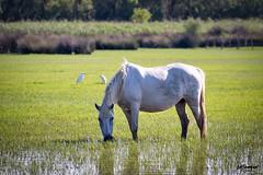 caballo de la Camarga (Sanmi Fotografía) Tags: camarga francia caballos naturaleza nature naturephotography