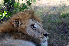 African Lion (AWFPresident) Tags: africa africanwildlife bigfive wildlife africansafari wildlifephotography topwildlife wildlifefacts africanlion lion kingofthejungle simba worldlionday nature thewild sahara eastafrica vulnerablespecies