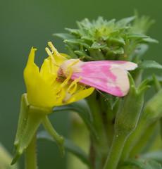 Primrose Moth on Evening Primrose Flower (vischerferry) Tags: eveningprimrose primrose primrosemoth yellowwildflower schiniaflorida newyorkstate lepidoptera moth pinkmoth wildflower macro albanypinebush