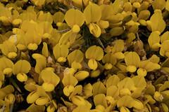jdy110XX20170420a6074Bias-0.7 stops.jpg (rachelgreenbelt) Tags: devon naturallyoccurringplantorweed eudicots england ulex rosids cultivarweednativenaturalplants uk orderfabales europe familyfabaceae baggypoint greatbritain magnoliophyta naturallyoccurringplant unitedkingdom beanfamily fabaceae fabaceaefamily fabales fabalesorder floweringplants furze gorse legumefamily leguminosae oneplant peafamily singleplantportrait spermatophytes weed whin