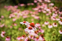 Sunny Coneflowers (Bernie Duhamel) Tags: coneflower flowers colorado frontrange greatphotographers teamsony rockymountains bernie duhamel sonya7riii bokeh sunshine sun summer