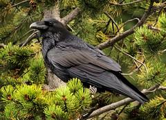 Nevermore (arbyreed) Tags: arbyreed smileonsaturday blackbeauty raven commonraven corvuscorax bird blackbird tree nature wildraven parkcountywyoming yellowstone