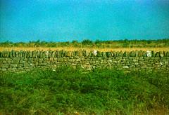 Image 25 (terrible_volk) Tags: film slide agfact100 rhosili beach cymru sheep
