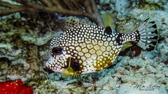 Puffer (mikederrico69) Tags: fish puffer oceanlife ocean sealife sea closeup macro diving marine marinelife exploration caribbean tropical