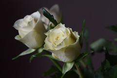 DSC_0891 (PeaTJay) Tags: nikond750 sigma reading lowerearley berkshire macro micro closeups gardens indoors nature flora fauna plants flowers rose roses rosebuds