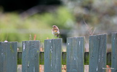 Baby Robin standing to attention (mootzie) Tags: juvenille robin baby red fence garden speckled nature wildlife aberdeenshire scotland brown