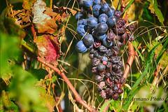 L'uva è rigonfia d'acqua, flagellata da continui acquazzoni; oste, ammesso che tu ne avessi voglia, non puoi vendere quest'anno il vino puro. (Gianni Armano) Tags: uva rigonfia monferrato alessandria piemonte italia foto gianni armano photo flickr