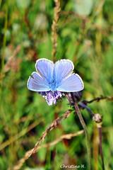 Schmetterling (mama knipst!) Tags: schmetterling butterfly bläuling eifel sommer august natur