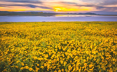 Carrizo Plain God Spilled the Paint! Carrizo Plains National Monument Superbloom Wildflowers! Epic California Wild Flowers Super Bloom! Elliot McGucken Fine Art Cali Photography! God Spilled a Bucket of Paint! (45SURF Hero's Odyssey Mythology Landscapes & Godde) Tags: carrizo plain god spilled paint plains national monument superbloom wildflowers epic california wild flowers super bloom bucket