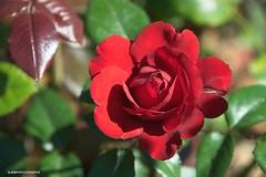 Red Rose (JSB PHOTOGRAPHS) Tags: jsb7056 redrose d3 nikon owenrosegarden owenmemorialrosegarden leaves bokehlicious bokeh eugeneoregon 28300mm on1photoraw