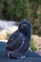 young snowy owl (Cloudtail the Snow Leopard) Tags: schneeeule tier animal vogel bird eule scandiacus buboscandiaca nyctea snowy owl young jung kücken zoo stadtgarten karlsruhe