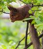 Tasty Snack (PuffinArt) Tags: eurasianredsquirrel sciurusvulgaris squirrel esquilo red vermelho nikon d300 nikkor 18200mm vr puffinart vandamalvig