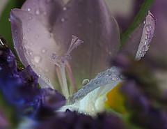 Freesia Charm (Smiffy'37) Tags: freesias flowers light macro closeup nature mauve purple lilac waterdrops